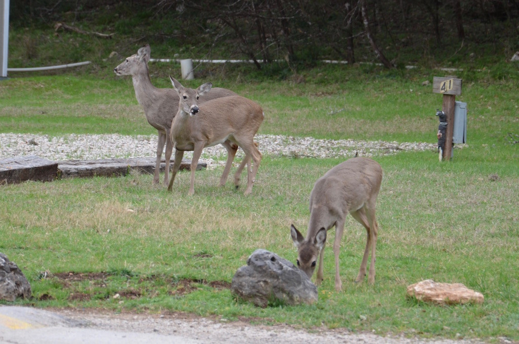 Resident herd of deer. They really like the deer corn I put out every evening!