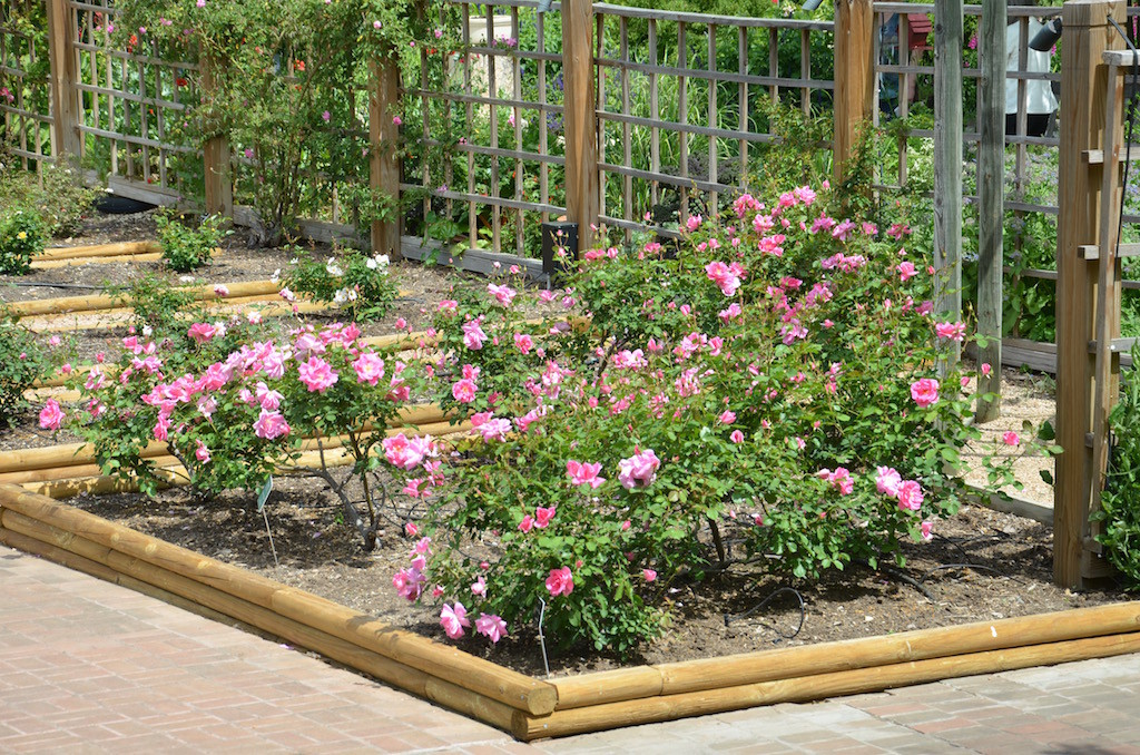 The blooming Rose garden.