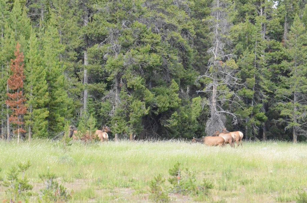 A small herd of Elk