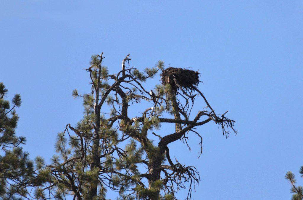 This is either an Eagle or Osprey nest